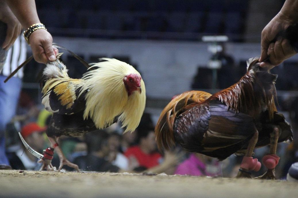 Cerita Sabung Ayam