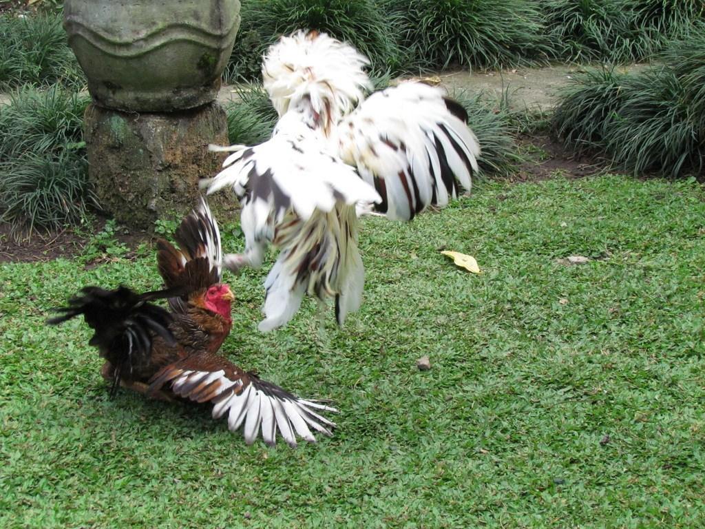 Situs Sabung Ayam Terpercaya